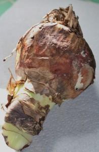 An Amaryllis Bulb