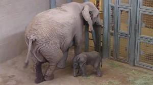 RPZ Baby Elephant