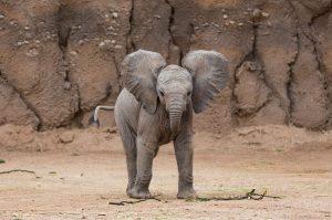 Baby Elephant RPZoo